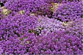 "1500+PURPLE DWARF SWEET ALYSSUM Flower Seeds ""ROYAL CARPET"" Groundcover/... - $2.75"