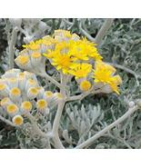 Jacobaea Maritima - Dusty Miller or Silver Dust - Starter Live Plant - G... - $35.64