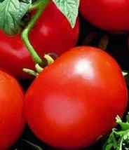 Oregon Spring Tomato Seeds (40 Seeds) - $4.69