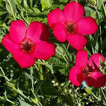 SHIP FROM US SCARLET FLAX SEEDS - 8 OZ SEEDS- NON-GMO, OPEN POLLINATED TM11 - $90.96