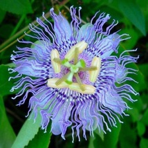 5 Blue frill passion vine seeds , fast grower,beautiful flower ,edible ... - $2.95