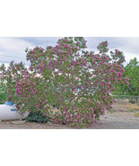 Desert Willow 100 Seeds Orchid Like Flowers Tree/Bush  Chilopsis Linearis - $11.99