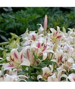 HAPPY FLOWER 2 Bulbs JODIPAN True Lily Bulbs Perfume Flower High germina... - $2.99
