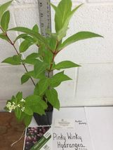 PINKY WINKY hydrangea  shrub PP#16166 image 4