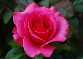 Rose Flower Picture/Image/Digital Nature Flower #41 - $0.98