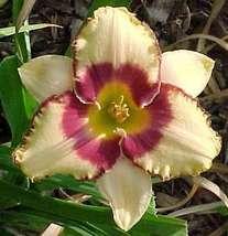 1 plant - Hemerocallis daylily Alaqua - Hemerocallidaceae / Liliaceae - $12.99