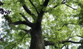 Black Walnut tree native quart pot  image 3
