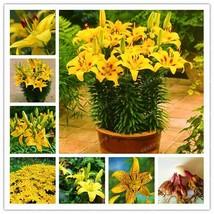 Lilies Bulbs, Lily Flowers, Rare Balcony Bonsai Plant, True Yellow Flowers, Hot - $9.99+