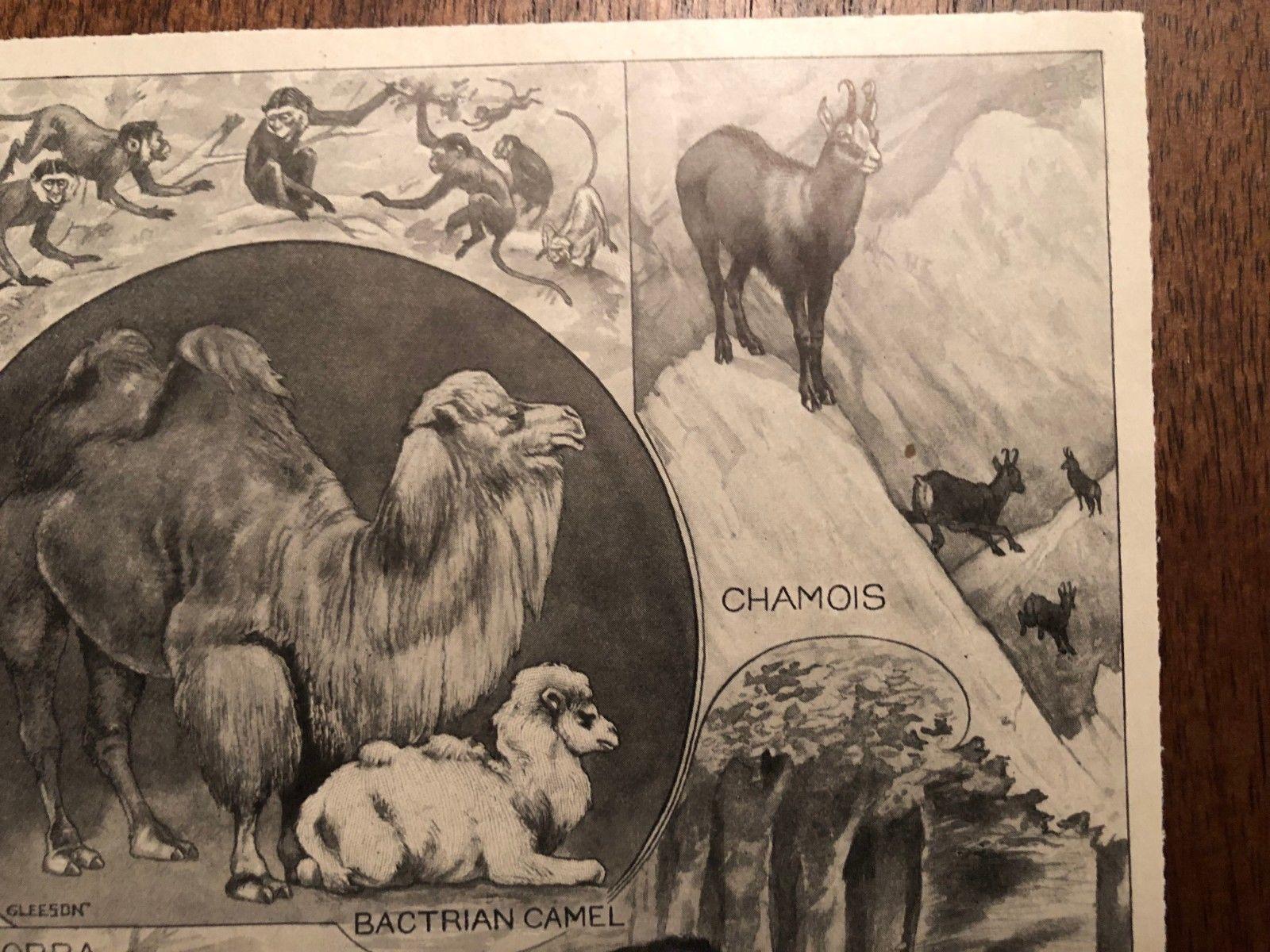 "Vintage Engraving Print of EURASIAN ANIMALS Camel Yak Cobra Unframed 6"" x 8.5"""