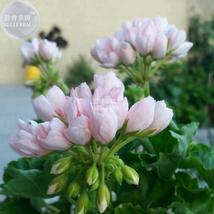 10 Seeds Geranium Purely Light Pink Compact Rosebuds, DIY Flower Seeds BD411H DG - $7.79