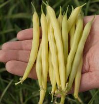 Bean Seeds - Gold Rush Wax - Vegetable Seeds - Outdoor Living - Garden - $34.99+
