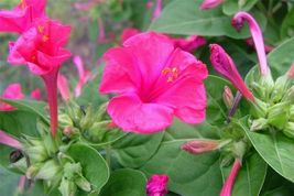 SHIP FROM US 50 Seeds Pink Four O' Clock Flower,DIY Decorative Garden Pl... - $39.99