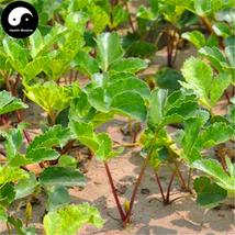 Buy Coastal Glehnia Seeds 100pcs Plant Herb Glehniae Radix For Bei Sha Shen - $5.99