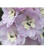 50 Bulk Seeds Delphinium Guinevere Delphinium Cultorum,DIY Decorative Plant ov04 - $34.98