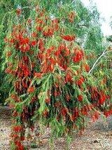 5 Seeds of Callistemon Viminalis Weeping Red Bottlebrush - $16.83