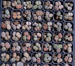 100 Seeds Mix Lithops Pseudotruncatella Succulent Plant Seeds, Decorativ... - $9.99
