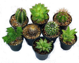 "Cactus Succulent Collection 8 Plants 2"" Pots Live Plant Houseplant Best ... - $24.70"
