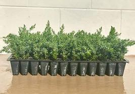 Juniper Blue Pacific Qty 30 Live Plants Evergreen Ground Cover 'Shore Juniper' - $79.98