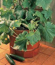 SHIP From US, 50 Seeds Salad Bush F1 Hybrid Cucumber, DIY Healthy Vegeta... - $39.99