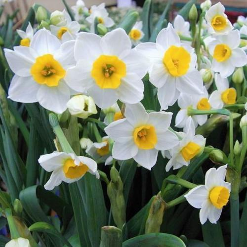 SHIPPED From US_Narcissus 'Chinese Sacred Lily', 100 Seed-WB