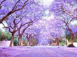 Royal Empress Tree Paulownia Elongata flowering tree wood bonsai seed 10 seeds - $20.00