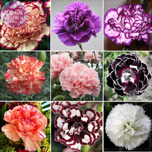 Carnation Giant Mixed Sweet Fragrant Flower Seeds, 200 seeds - £6.49 GBP