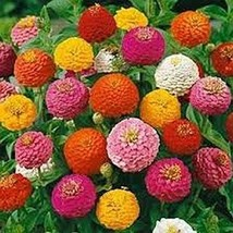 100 Zinnia (Lilliput Mix) Seeds - $8.99