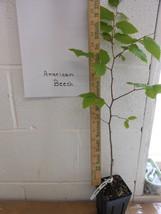 American Beech (fagusgrandifolia) quart pot image 2