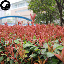 Buy Photinia Serrulata Tree Seeds 100pcs Plant Red Robin For Heather Shi... - $9.99