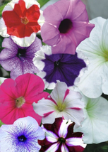 1200pcs Beautiful Mix Petunia Splendid in hanging basket and container S... - $27.95