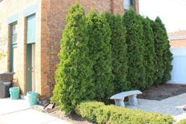 "25 EMERALD GREEN Arborvitae 3""pot - (Thuja occidentalis) image 4"