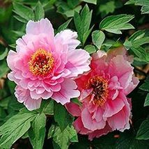 Fen Pan Tuo Jin Pink Peony Tree Flower Organic Seed Light Fragrant Garde... - $5.90
