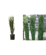 "Live Plant Sky Pencil Holly Evergreen Shrub - 3 Plants in 2.5"" Pots - Ga... - $74.99"