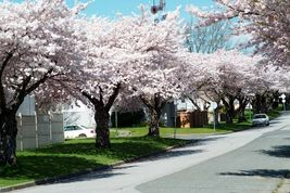 AKEBONO Flowering Cherry Tree image 3