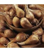 Organically Grown French Grey Shallots for Planting (1 Lb) - $16.78