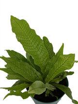 """6"""" in Pot Rare Crocodile Fern """"Microsorium musifolium"""" - $60.60"""