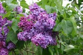 SYRINGA 'CONGO' - LILAC - FRAGRANT - STARTER PLANT - APPROX 7-12 INCH-DO... - $35.99