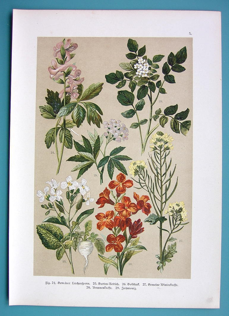 Primary image for BOTANICAL PRINT 1896 Color Litho - Raddish Yellow Rocket Larkspur Wall Flower