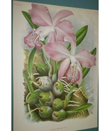 Lindenia Print Limited Edition Laelia Majalis Orchid Collectible Wall Ar... - $16.14