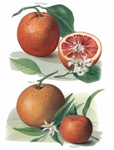 Vintage Fruit Prints: Blood Orange - Fruit Growers Guide - 1880 - $12.82+