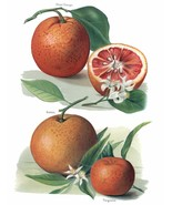 Vintage Fruit Prints: Blood Orange - Fruit Growers Guide - 1880 - £9.99 GBP - £15.39 GBP