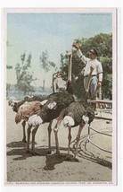 Feeding Ostriches Farm Pasadena California postcard - $5.45