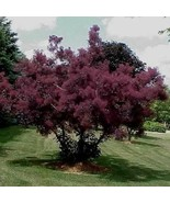 Purple Smoke Tree Seeds (Cotinus Coggygria Purpureus) 20+Seeds - $21.98