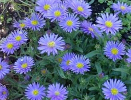 50 Pcs Seeds Aster Frikartii Wonder Of Staffa Flower - DL - $16.00