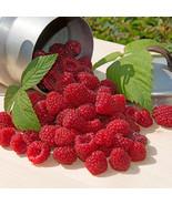 Plant 5 Ft Row- Cascade Delight Raspberries- Grow 5+ Canes- Berries next spring - $6.95