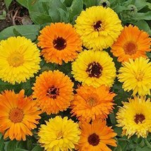 Non GMO Bulk Calendula Seeds - Pacific Beauty Mix Calendula officinalis (5 lbs) - $150.48