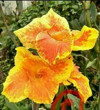 Tall Yellow King Humbert Flower Canna Lilly Yellow Red Orange Rhizomes 5 bulbs - $37.05