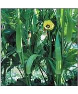 OKRA SEED, CLEMSON, HEIRLOOM, ORGANIC, NON GMO, 25+ SEEDS, OKRA GARDEN SEEDS - $4.99