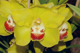 Cym. Here Comes Sunshine 'Ruby Throat' Orchid Plant Blooming Size Warm 0518 A image 1