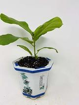 """Fiddle Leaf Fig 4"""" Porcelain Elegance Pot - $26.45"""
